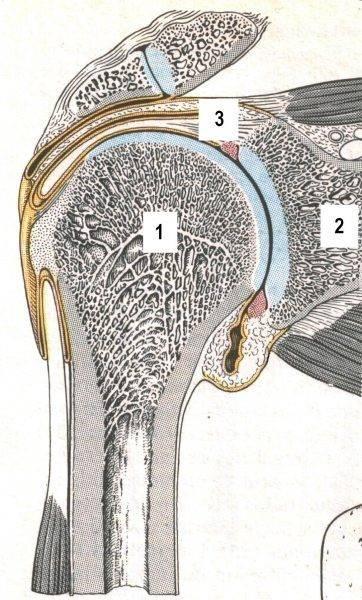 Doorsnede van het Gleno-Humerale gewricht. Duidelijk zichtbaar is het geringe contactvlak van de humerus (1) met de scapula (2), de zogenaamde cavitas glenoidalis. De stabiliteit van het gewricht wordt maar voor een heel klein deel uit de vorm van de gewrichtsvlakken gehaald. Kapsel en banden (3), maar vooral een actieve bijdrage van de spieren (met name m. supraspinatus) zijn noodzakelijk om de integriteit van het gewricht te garanderen. (Uit : Kahle W, et al4, Sesam Atlas van de Anatomie, Vijfde druk 1986; ISBN 90 246 6916 2, bewerkt).